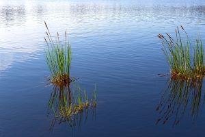 Nature paisible d'un lac avec ses roseaux.