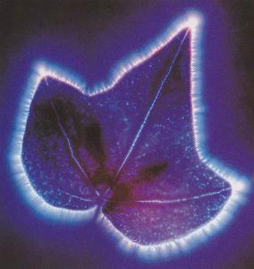 photo Kirlian de feuille de lierre